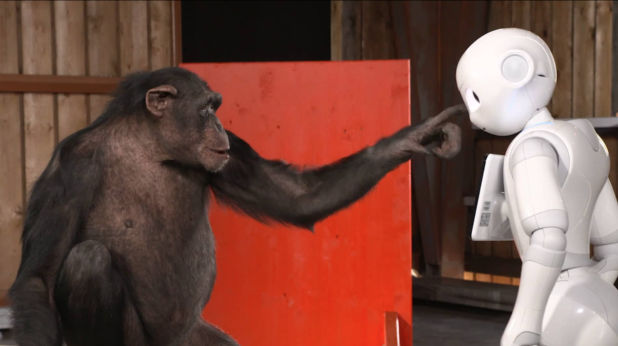 Chimpanzee reacts to Robot - by iPad Magician Simon Pierro